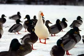 stand out ducks